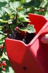 Beerenpflücker mit Kunststoffkamm